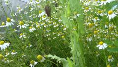 Walk between chamomile flowers plants move in wind Stock Footage