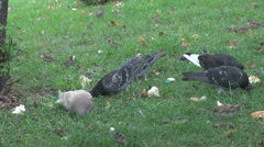 Stock Video Footage of Pigeons and sparrows on green meadow, birds pecking bread, people feed animals