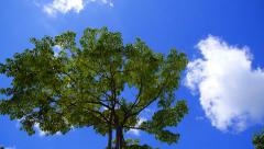 Cloud - Heart. Green Tree against Blue Sky and Clouds. Timelapse. - stock footage