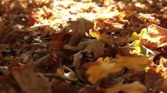 Dry oak leaves dolly shot Stock Footage