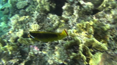 Raccoon butterflyfish courios dahab Stock Footage