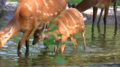 Baby Sitatunga with mother in a nature reserve Stock Footage
