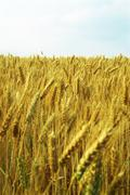 Stock Photo of Field of wheat