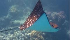 Eagle rays Stock Footage