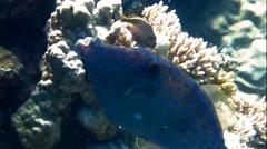Hone fish Stock Footage