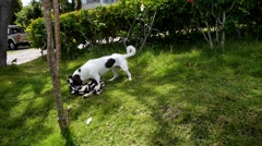 Beautiful Cheerful Dog Playing in Grass with Plaid. Stock Footage