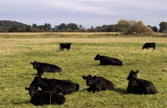 Black angus cows Stock Photos