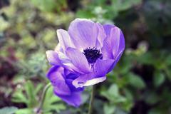 Anemone coronaria  or poppy anemone Stock Photos