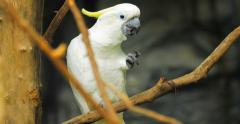Stock Video Footage of White Cockatoo parrot bird feeding on branches 4k video