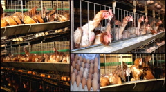 Chicken farm baby animal farm multi screen collage Stock Footage