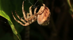 Orb weaver spider creating a new web - stock footage