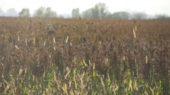 Sparrow flies over a field in slow motion Arkistovideo