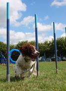 Working type english springer spaniel pet gundog weaving through agility weav Stock Photos