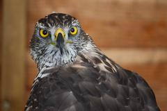 Portrait of a magnificent raptor Stock Photos