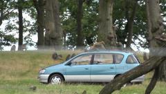 Baboons ride on car at safari park Stock Footage