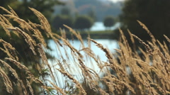 Reeds with yellow panicle in the sunlight closeup Stock Footage