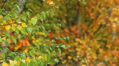 Bright autumn Birch leaves on a branch fluttering in the wind Stock Footage