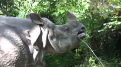 Medium close up of Rhino chewing plants Stock Footage