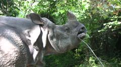 Medium close up of Rhino chewing plants - stock footage