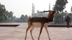 Indian antelope near the Tomb of Akbar the Great. Agra Stock Footage