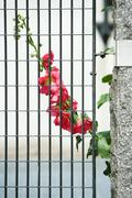 Hollyhocks growing behind gate - stock photo