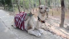 Camel lying on the street Agra. India Stock Footage