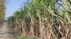 Plantation of sugar cane Stock Footage