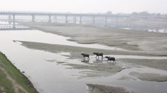 Three Buffalo walking along the river Stock Footage