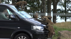 People watch baboons ride on car at safari park Stock Footage