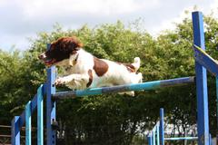 a working type english springer spaniel pet gundog jumping an agility jump - stock photo