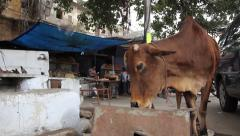 The cow eats on the street in the Indian city of Jaipur Stock Footage