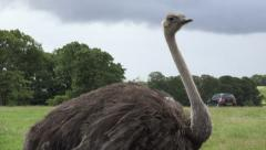 Female ostrich preens at safari park Stock Footage