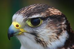 Close up portrait of a harris hawk Stock Photos