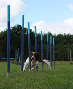 working type english springer spaniel pet gundog weaving through agility weav - stock photo