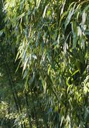 Stock Photo of Bamboo growing