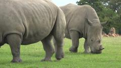 White rhinoceros graze on grass at safari park Stock Footage