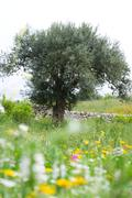 Olive tree in flowery meadow - stock photo