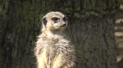 portrait of captive meerkat stands looking - stock footage