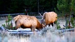 Bull Elk Sparing Stock Footage