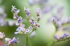 Close-up of tiny purple flower buds, selective focus - stock photo