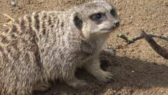 captive meerkat lies down on the sand - stock footage