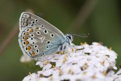 Adonis blue (Polyommatus bellargus) butterfly Stock Photos