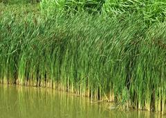 Rushes growing alongside pond - stock photo