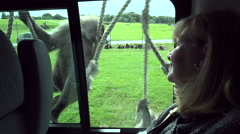 Woman tourist watches baboons play on vehicle Stock Footage