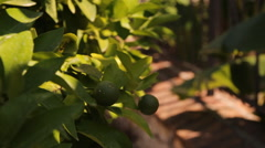 Tropical garden, the fruits of Mandarin, orange, lemon Stock Footage