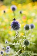Buff-tailed bumblebee (Bombus terrestris) collecting pollen from globe thistle - stock photo