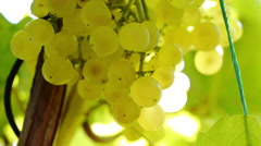 White Grapes 2 Stock Footage