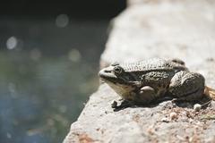 Natterjack toad basking on rock Stock Photos