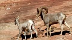 Bighorn Sheep - stock footage