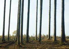 Switzerland, forest of pines undergoing reforestation - stock photo